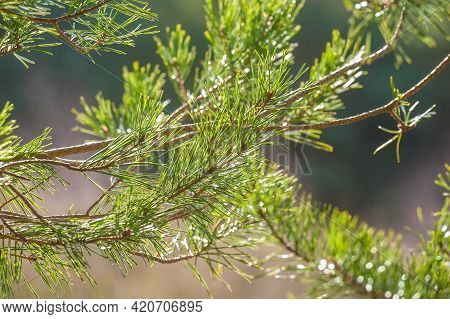 Closeup Of A Sprig Of Pine Needles In Springtime Sunlight