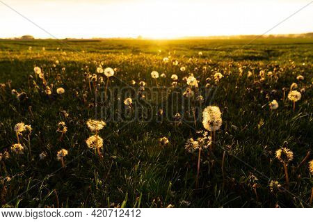 Golden Evening Sunset Over A Green Meadow With Dandelions In The Foreground