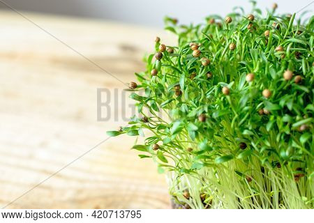 Close Up Of Young Sprouts Coriander.vegan And Healthy Eating Concept.
