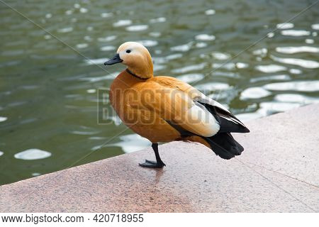 Ground Duck Tribe (lat. Tadornini Tadorninae) Brown Standing On One Paw On The Granite Parapet Of Th