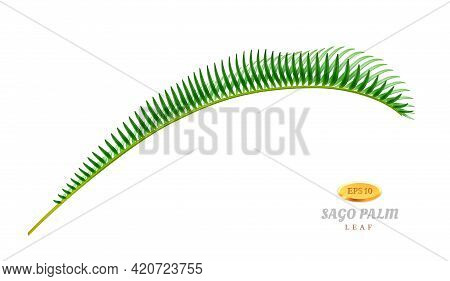 Exotic Flora And Vegetation, Isolated Bend Leaf Of Sago Palm Tree. Decorative Foliage Of Tropical Pl