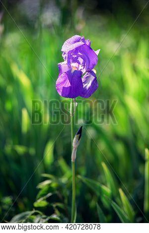 Beautiful Blossoming Bud Of Purple Iris Flower In Tall Green Grass (focus On Flower, Bokeh Backgroun