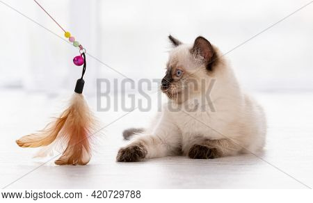 Cute fluffy ragdoll kitten witn beautiful blue eyes lying on the floor and looking at toy with feathers hold by owner. Portrait of american breed feline kitty at home. Little purebred domestic cat