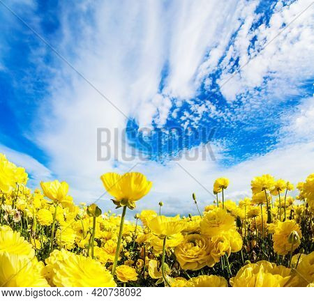 Sea of flowers. Bright beautiful multi-colored garden buttercups grow in a kibbutz field with a magnificent carpet. Spring in Israel. Wonderful trip for spring beauty