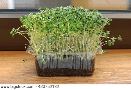 Rocket Plant Microgreens On Wooden Shelf Inside Interior Garden