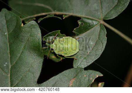 Portrait Of A Green Bug, A Stink Bug.