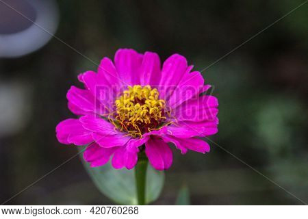 A Beautiful Flower With Purple Petals And Yellow Pollen Stems.