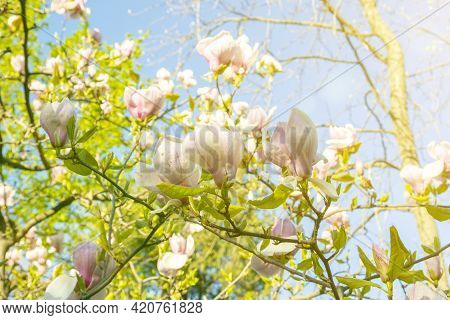 Beautiful Magnolia Blossoms In The Spring. Beautiful Magnolia Tree Blossoms In Springtime. Magnolia