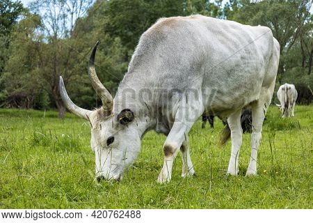 The Hungarian Grey (hungarian: Magyar Szürke), Also Known As Hungarian Steppe Cattle, Is An Ancient