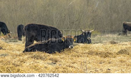 Wild Cows In Naked Pasture In Spring. Cows Graze In Wild Pasture Among Dry Grass On A Picturesque Ba