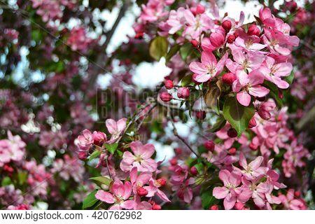 Chinese Flowering Crab-apple Blooming Blooming Apple Tree. Spring Season. Photo Of Pink Flowers, May