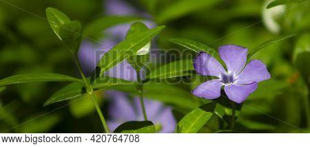Vinca, Periwinkle Purple Flower, Blooming Wildflowers In The Meadow