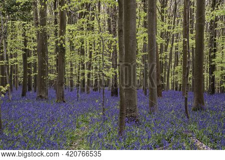 Beautiful Soft Spring Light In Bluebell Forest In English Countryside During Calm Mornng