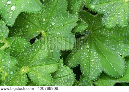 Full Frame Greenery Background - Lady's Mantle (alchemilla Mollis) Leaves With Drops Of Morning Dew.