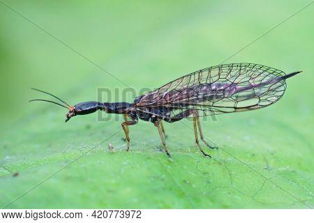 Closeup Of One Of The Odd , Bizarre Looking Snakeflies , Xanthostigma Xanthostigma
