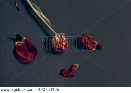 A Withered Red Tulip And Petals On A Dark Paper Background. Slow Death Concept Of Cut Flowers. Not A