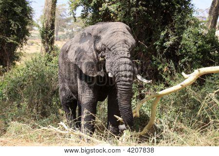 Alte Elefanten-Bull