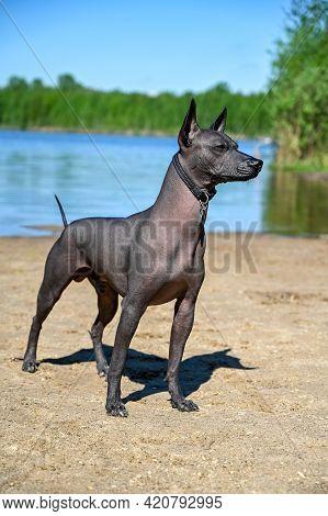 Alert Xoloitzcuintle (mexican Hairless Dog) With Black Collar Portrait Standing On Sandy Beach Again