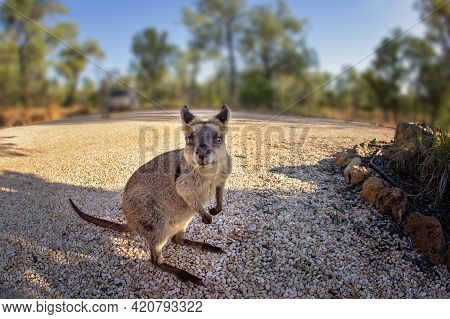 Closeup Of A Wallaby Native To Australia Photographed With Fisheye Lens