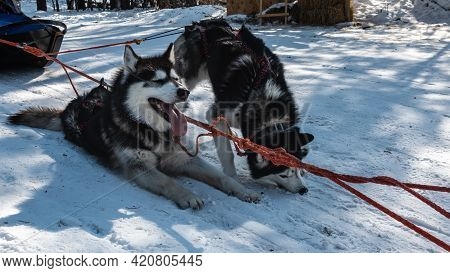 Black And White Siberian Huskies Are Harnessed, Resting On A Snowy Road. One Dog Lies, Opened Its Mo