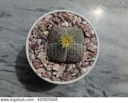 Astrophytum Myriostigma Quadricostatum Cactus Flower High Angle View With A Marble Background