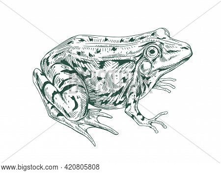 Big Adult Frog Drawn In Vintage Style. Detailed Etching Toad With Bulging Eyes. Engraving Amphibian