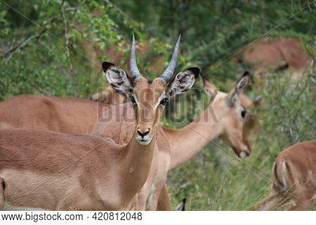 African Gazelles. Wilderness Life In Savannah. Safari In The African Savannah. Graceful Animal. Impa