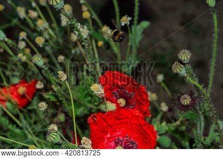 Flowers And Insects. Bumblebee (latin: Bombus) Pollinates Red Flowers Poppy (latin: Papaver). Bumble
