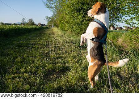 Hound Dog On Two Feet Looking Around.