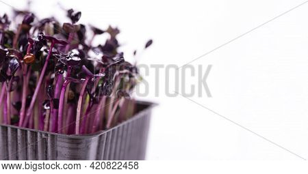 Microgreens Of Purple Radish In A Brown Plastic Tray On A White Background With Space For Text
