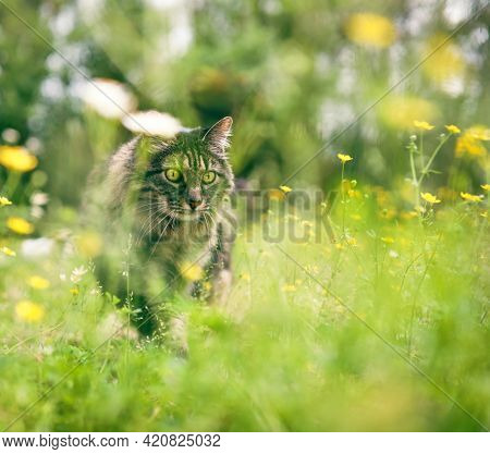 Staring brown mane coon cat hunting for something as she stays hidden in the grass and flowers.