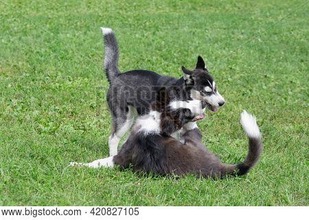 Border Collie Puppy And Siberian Husky Puppy Are Playing On A Green Grass In The Summer Park. Four M