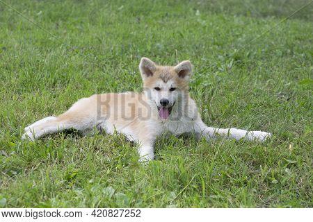 Cute Akita Inu Puppy Is Looking At The Camera. Japanese Akita Or Great Japanese Dog. Pet Animals. Pu