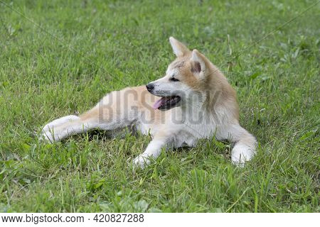 Cute Akita Inu Puppy Is Lying On A Green Grass In The Summer Park. Japanese Akita Or Great Japanese