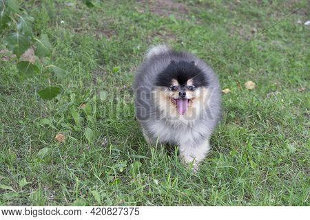 Cute Pomeranian Spitz Puppy Is Looking At The Camera. Deutscher Spitz Or Zwergspitz. Pet Animals. Pu