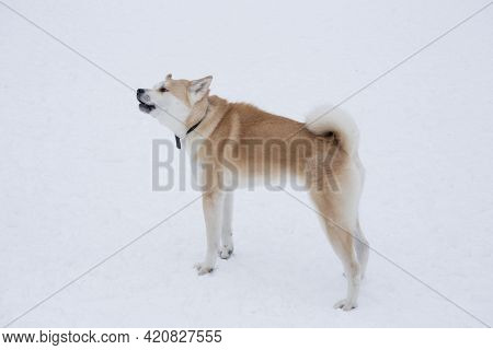 Cute Akita Inu Puppy Is Barking In The Winter Park. Japanese Akita Or Great Japanese Dog. Pet Animal