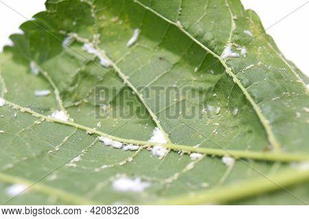 Fungus On Morus Alba Linn Leaf On White Background