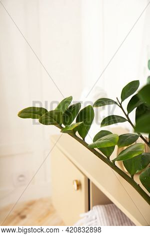 Modern Houseplant Ficus In Pot. Indoor Evergreen Potted Plant On A Light Background. Shadow Of Focus