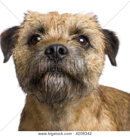 Border terrier in front of a white background poster