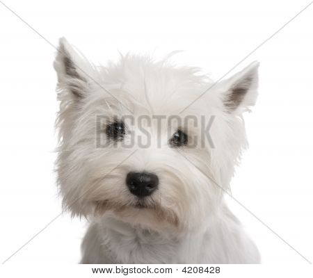 West Highland White Terrier (3 years) in front of a white background poster