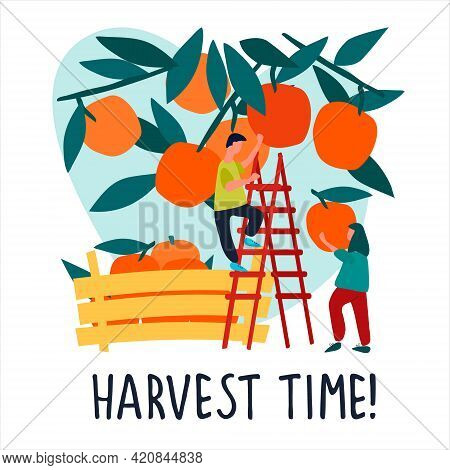 People Picking Oranges Into Wooden Crate. Vector Illustration In Flat Style. Harvest Time Quote
