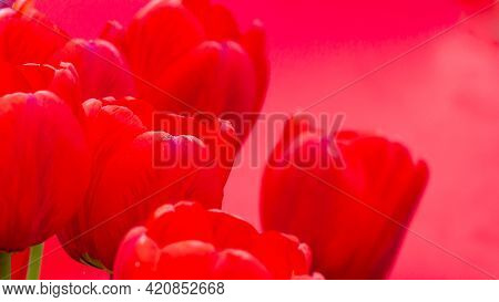 Red Tulip Flowers On A Red Uniform Background.