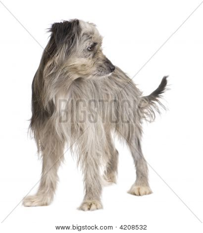 Pyrenean Shepherd (1 year) in front of a white background poster