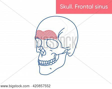 Human Skull Anatomy - Frontal Sinus Vector Illusttation Flat Medicine Poster