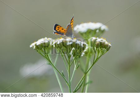 Orange Butterfly Sits On A White Wildflower. Close-up Of A Small Copper Lycaena Phlaeas, Sitting On