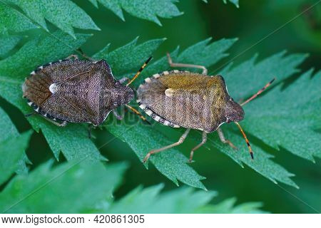 Closeup Of 2 Vernal Shieldbugs , Peribalus Strictus Hiding Among The Leafs Of A Tansy, Tanacetum Vul
