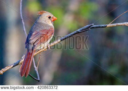 Female Northern Cardinal (cardinalis Cardinalis) Perched On A Tree Limb During Spring. Selective Foc