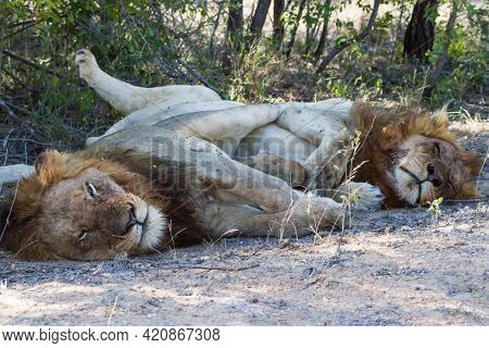 Two Male Lions (panthera Leo) Cuddling, Hugging And Sleeping Together Legs Intertwined In Kruger Nat