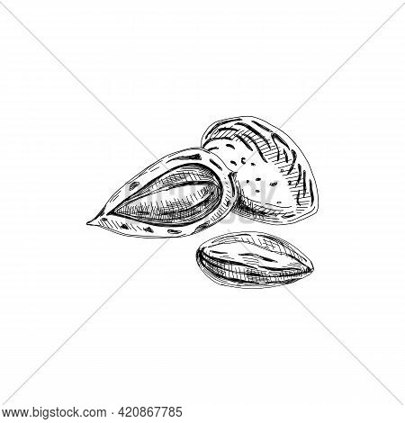 Almond In Shell, Shell Cracked Open, Unshelled Seed, Retro Hand Drawn Vector Illustration.