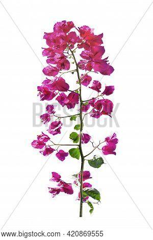 Santa Rita Flower Isolated Photo